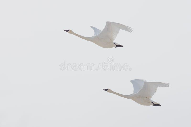 Pares de cisnes de trompetista que voam em um dia de inverno nublado sobre o rio de Minnesota na referência nacional dos animais  imagens de stock royalty free