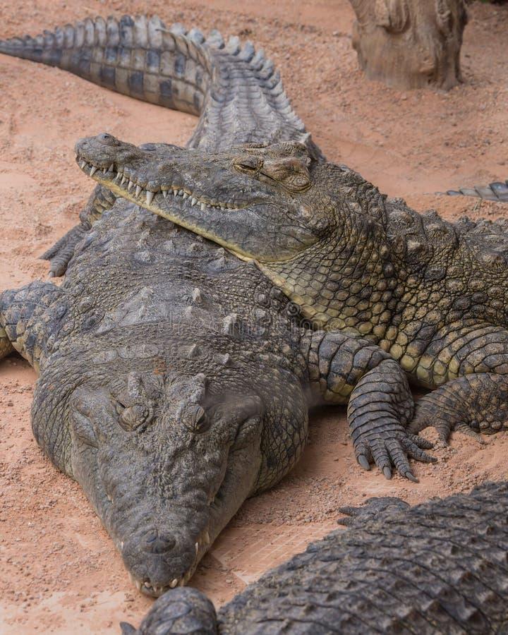 Pares de cocodrilos foto de archivo libre de regalías