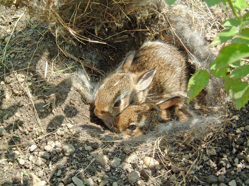 Pares de coelhos do bebê no ninho foto de stock royalty free