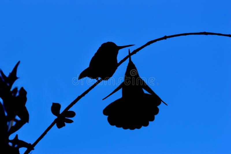 Pares de colibris imagem de stock
