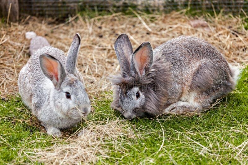 Pares de conejos fotografía de archivo libre de regalías