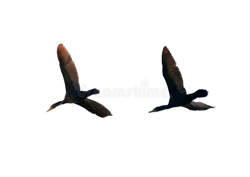 Pares de cormoranes del vuelo fotografía de archivo