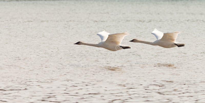 Pares de Cygnus das cisnes de trompetista do voo buccinator imagens de stock royalty free