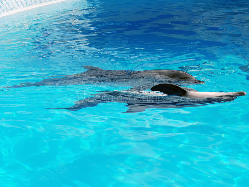 Pares de delfínes del baile foto de archivo