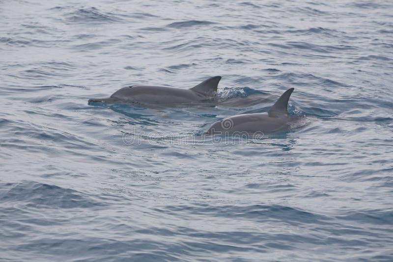 Pares de delfínes pacíficos del hilandero fotos de archivo