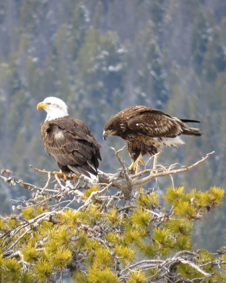 Pares de Eagles sobre a caça da árvore fotos de stock royalty free
