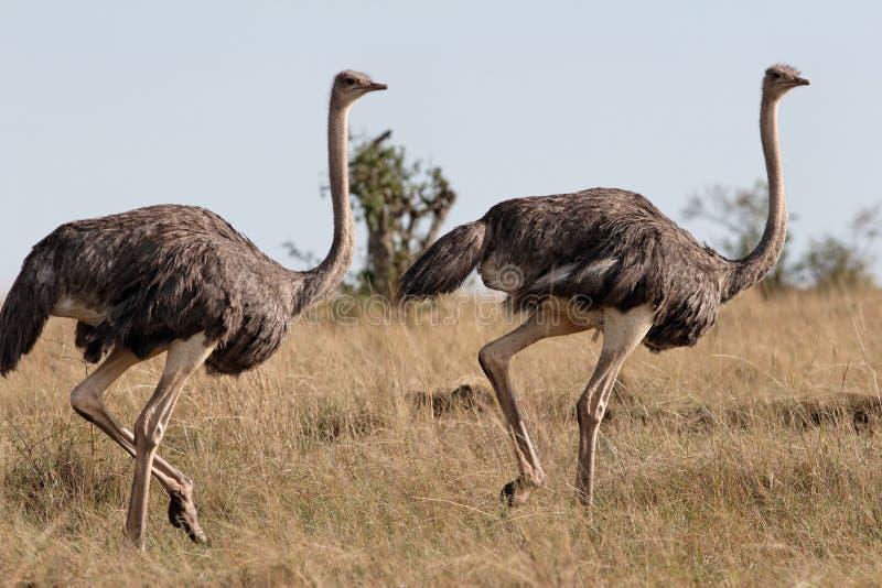 Pares de ejecutarse de las avestruces imágenes de archivo libres de regalías