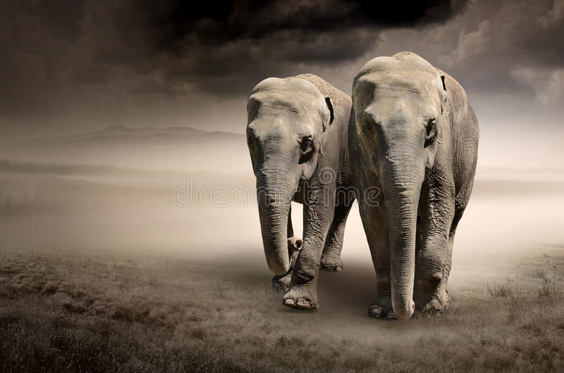 Pares de elefantes no movimento imagem de stock