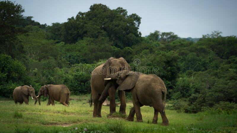 Pares de elefantes que lutam ou que jogam fotografia de stock