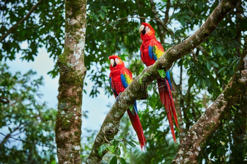 Pares de escarlate grande das araras, aros macao, dois pássaros que sentam-se no ramo Pares de papagaios da arara em Costa Rica foto de stock royalty free