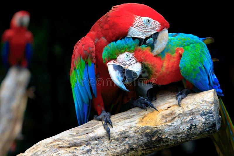 Pares de escarlate vermelho dos pássaros das araras que empoleiram-se no ramo de árvore fotos de stock