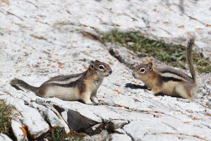 Pares de esquilos à terra Dourado-envolvidos - Alberta, Canadá imagens de stock
