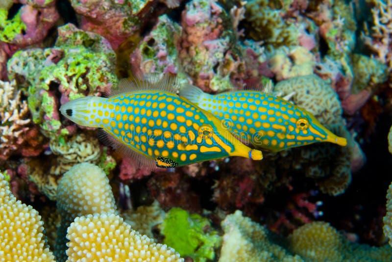 Pares de filefish manchado anaranjado fotografía de archivo libre de regalías