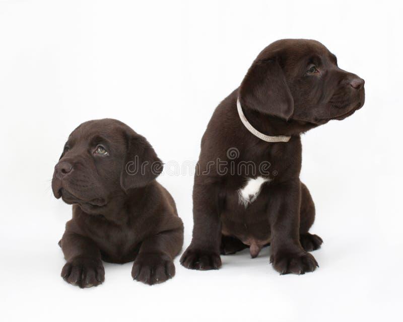 Pares de filhotes de cachorro do retriever de Labrador do chocolate imagem de stock royalty free
