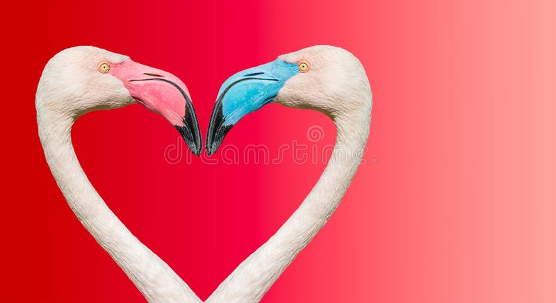 Pares de flamingos de Rosy Chilean com os bicos diferentes na cor, fazendo o cora??o de amor no fundo liso do inclina??o fotos de stock royalty free