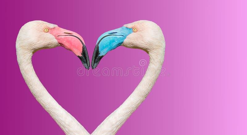 Pares de flamingos de Rosy Chilean com os bicos diferentes na cor, fazendo o cora??o de amor no fundo liso do inclina??o foto de stock