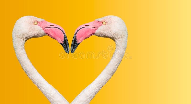 Pares de flamingos de Rosy Chilean que fazem o coração de amor no fundo liso do inclinação foto de stock royalty free