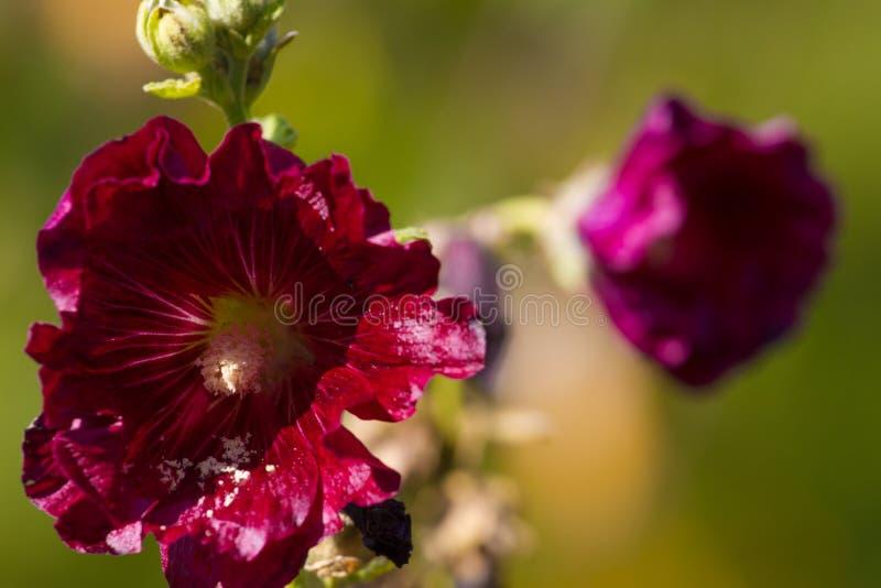 Pares de flores roxas do malva A planta do lavatera da beleza dissolve sobre o fundo imagem de stock