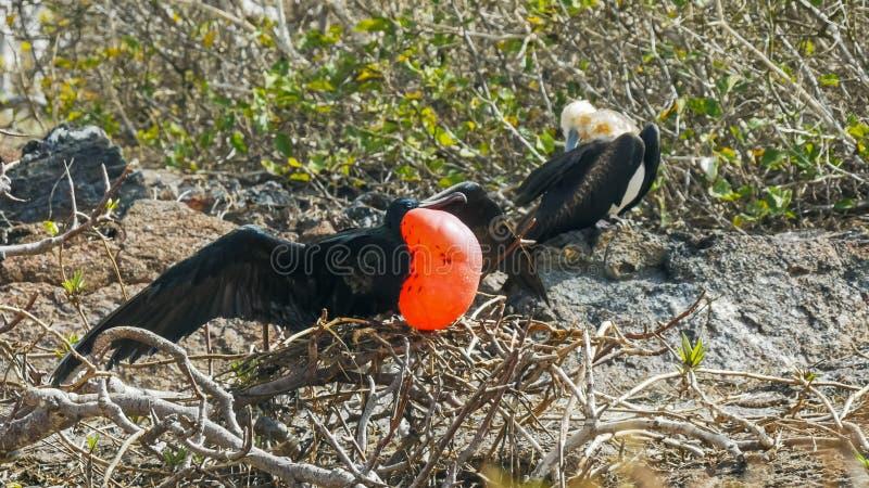 Pares de frigatebirds magníficos en genovesa del isla en las Islas Galápagos imagen de archivo