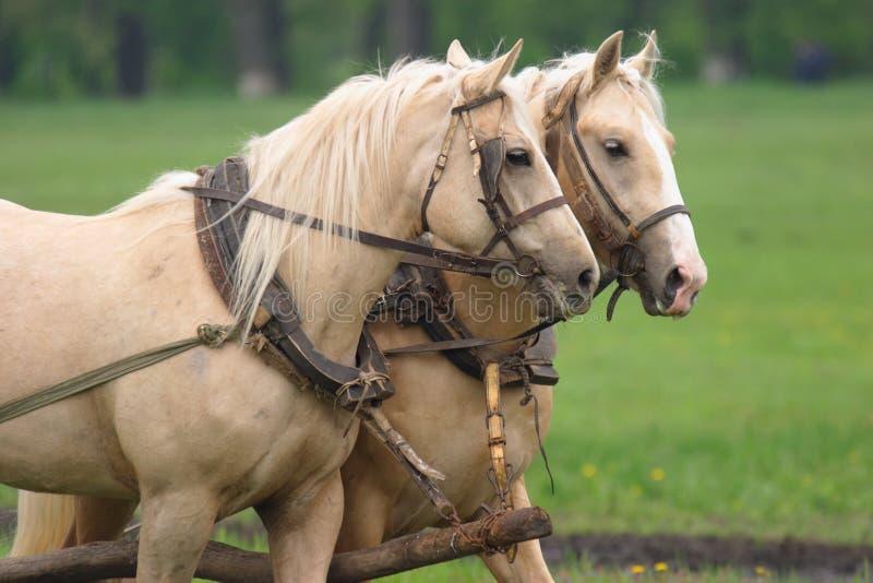 Pares de funcionamento duro dos cavalos fotografia de stock royalty free