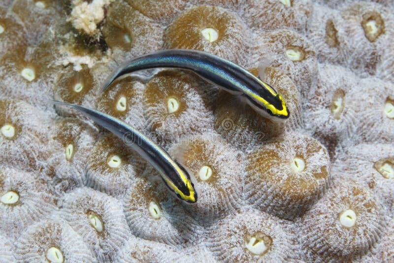Pares de góbios de Sharknose em uma cabeça coral - Bonaire fotos de stock royalty free