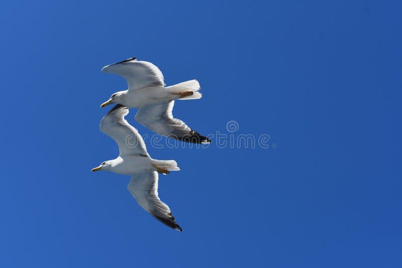 Pares de gaivotas em voo fotografia de stock