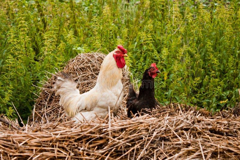 Download Pares de galinha anã foto de stock. Imagem de penas, torneira - 26503986