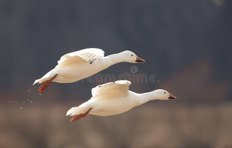 Pares de gansos de nieve que vuelan cerca fotografía de archivo libre de regalías