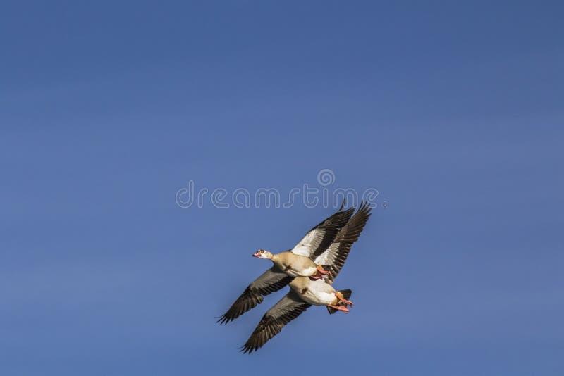 Pares de gansos do egípcio do voo fotografia de stock royalty free