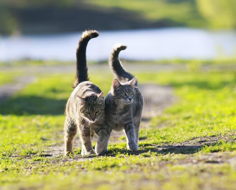 Pares de gato dos amantes que andam na grama verde ao lado de um sprin ensolarado fotos de stock