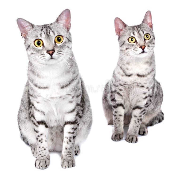 Pares de gatos egípcios de Mau foto de stock