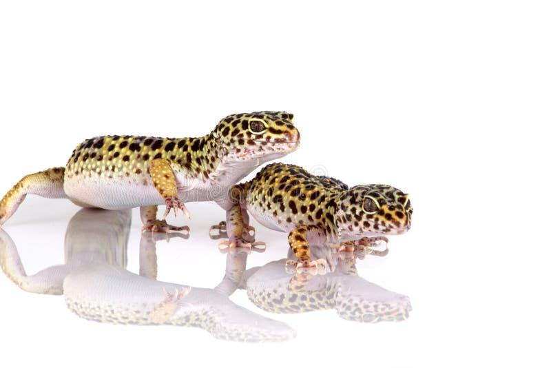 Pares de geckos do leopardo foto de stock