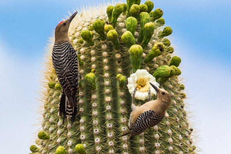 Pares de Gila Woodpeckers imagenes de archivo
