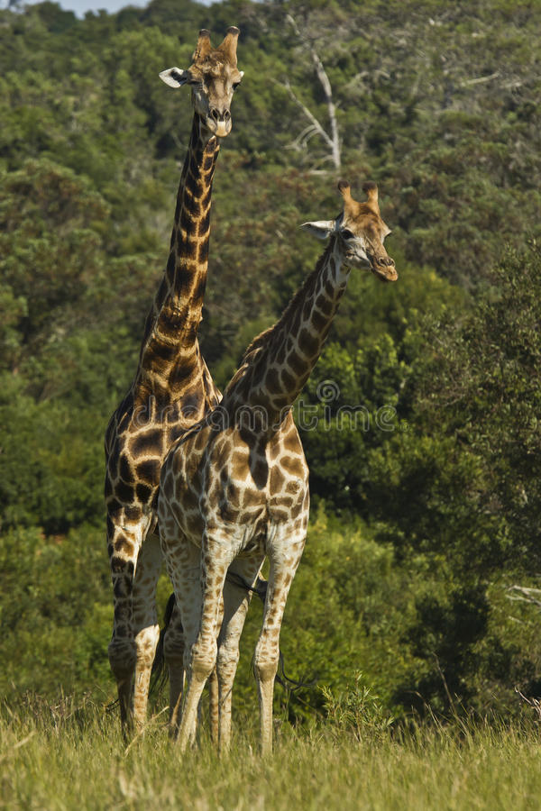 Pares de girafa foto de stock