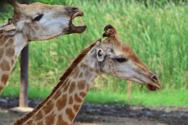 Pares de girafa no jardim zoológico fotos de stock