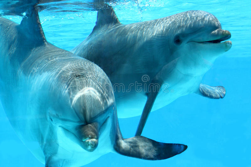 Pares de golfinhos que nadam imagem de stock royalty free