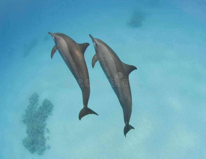 Pares de golfinhos selvagens do girador imagens de stock royalty free