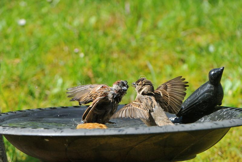 Pares de gorrión de casa en un baño del pájaro fotografía de archivo libre de regalías