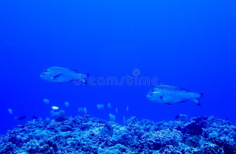 Pares de grande nadada dos peixes sobre Coral Reef no fundo azul imagem de stock royalty free