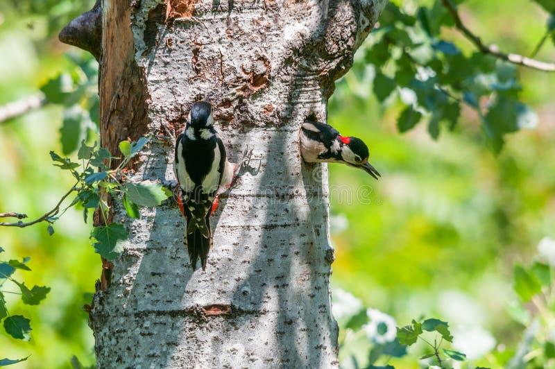 Pares de grandes woodpeckers manchados no ninho imagens de stock
