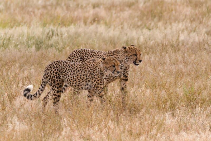 Pares de guepardo que caminan en hierba larga imagenes de archivo