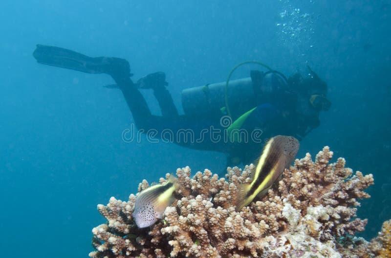 Pares de Hawkfish Freckled e de um mergulhador imagem de stock