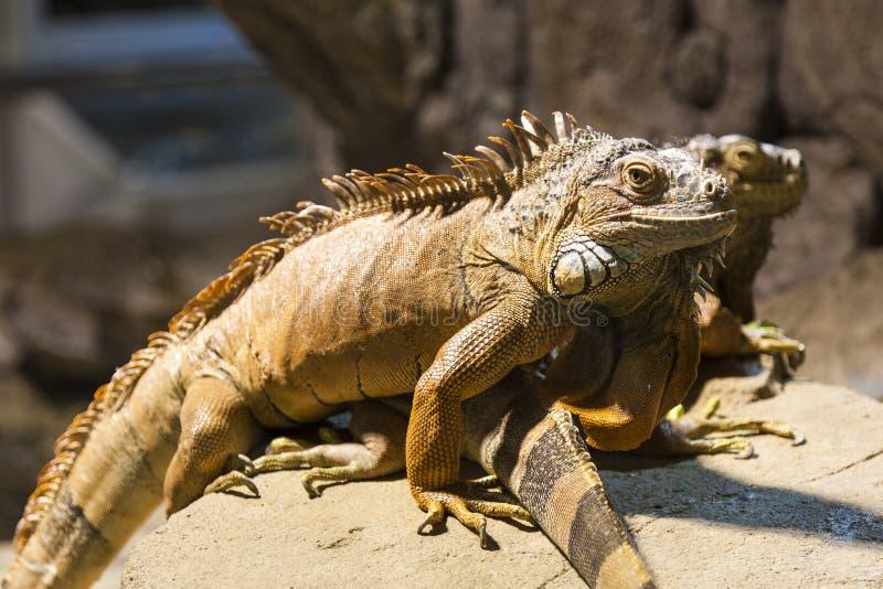 Pares de iguanas imagenes de archivo