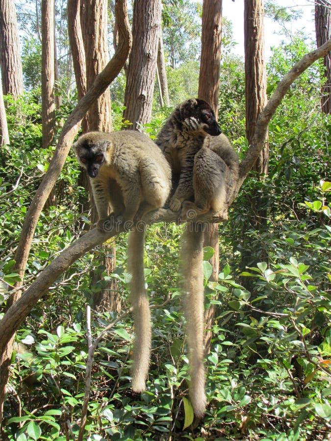 Pares de lémures imagen de archivo libre de regalías