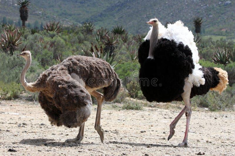 Pares de la cría de la avestruz foto de archivo