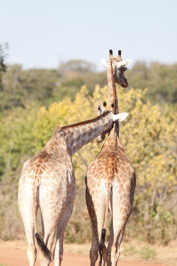 Pares de la jirafa imagen de archivo