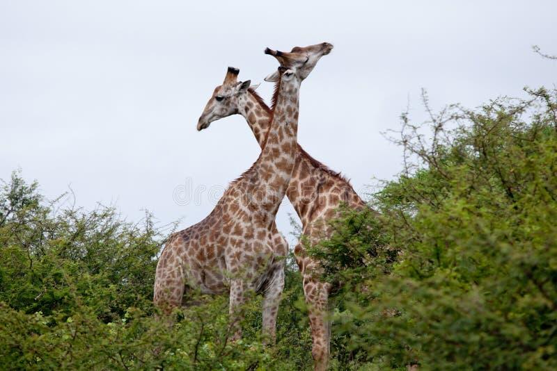 Pares de la jirafa foto de archivo libre de regalías