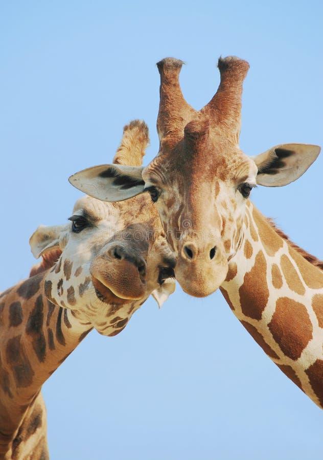 Pares de la jirafa en amor imagen de archivo
