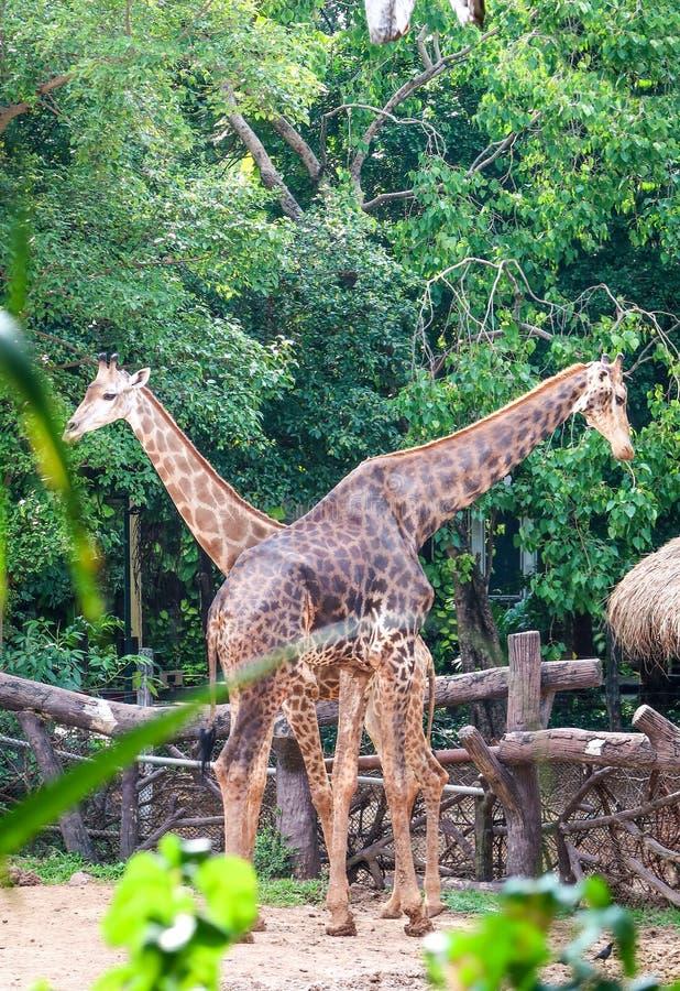 Pares de la jirafa en el parque zoológico imagen de archivo libre de regalías