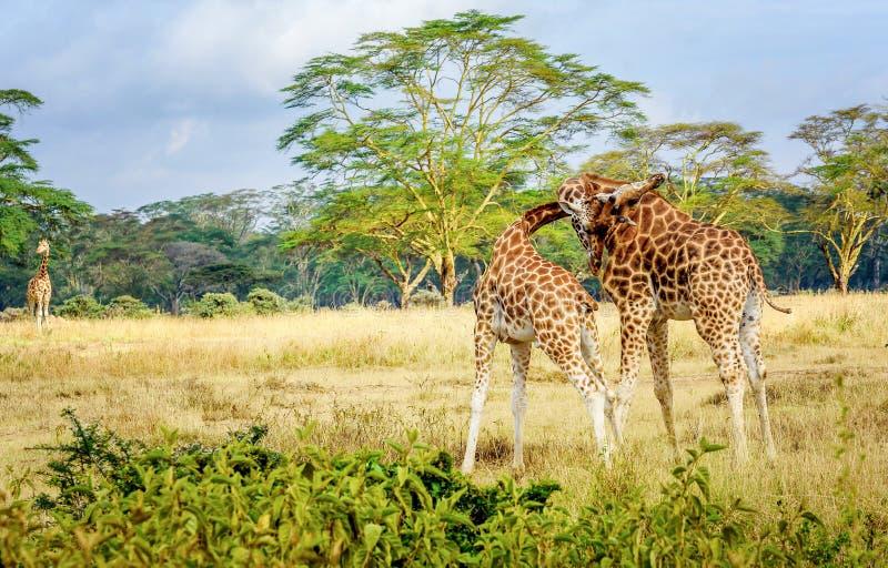 Pares de la jirafa que abrazan con uno a en Kenia, África fotos de archivo libres de regalías